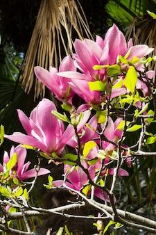 꽃 목련 꽃의 배경에 꽃이 만발한 나무 가지에 장미 꽃 봉오리, 봄