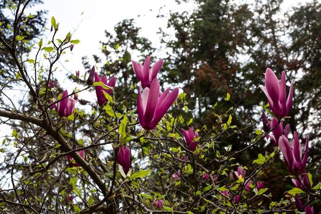 花の背景に開花する花マグノリア木の枝のバラのつぼみ、春