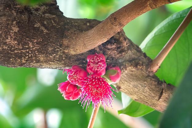 Flower of malay rose apple fruit