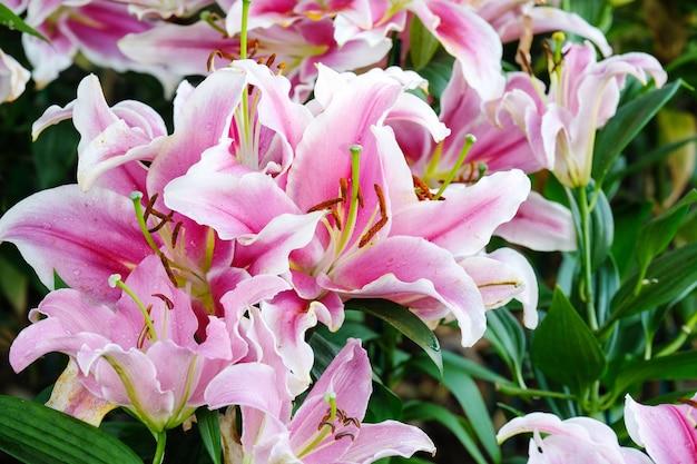花の自然の背景、春の季節に花ピンクのリリーの花