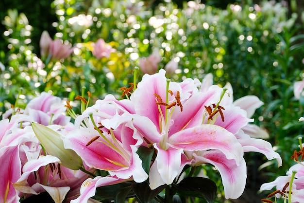 花の自然の背景、春の花ピンクのリリーの花