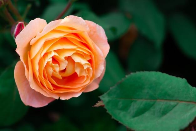Цветок нежной персиковой розы сорта la villa cotta