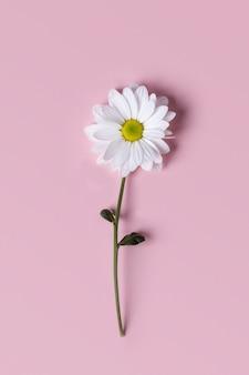 ピンクの背景に大きな秋のlevcantemellaカモミールの花。