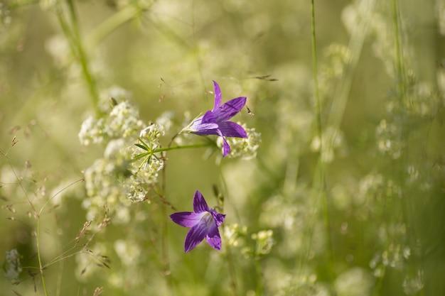 野生の大暴れの桔梗の花