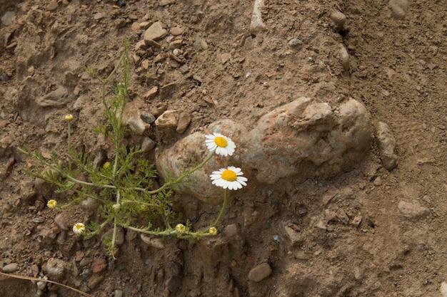 Цветок ромашки лекарственной. белая ромашка на зеленом фоне в солнечный летний день