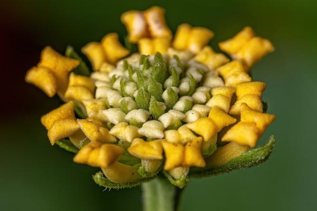 선택적 초점이 있는 lantana camara 종의 common lantana 꽃