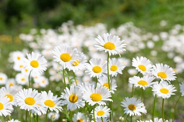 庭の花または薬用カモミール(matricariarecutita)。自然の概念。壁紙、自然な背景のポスター。