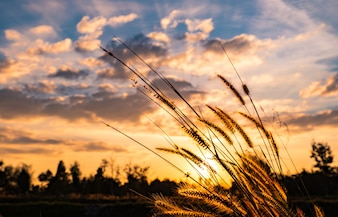 Flower of grass with blurred background of tree, white and gray clouds at sunset