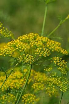 緑のディル(anethum graveolens)の花が農業分野で育ちます。