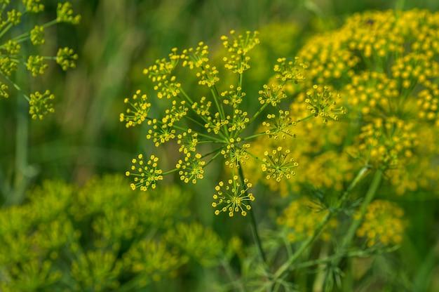 緑のディル(anethum graveolens)の花は農業分野で育ちます。