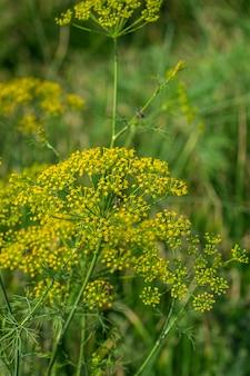 녹색 딜 (anethum graveolens)의 꽃은 농업 분야에서 자랍니다.