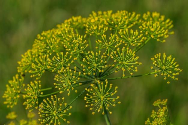 緑のディルの花が農業分野で育つ
