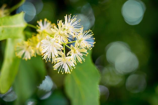 ライムの花。緑の葉を背景にリンデンの白い花_
