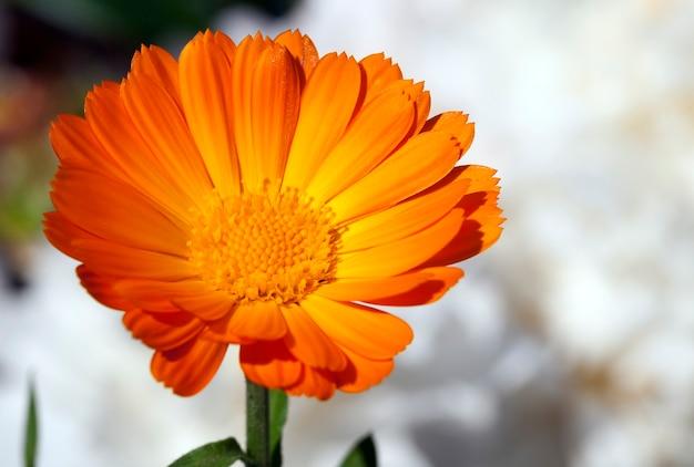 オレンジ色のキンセンカの花、白い牡丹を背景に、クローズアップ