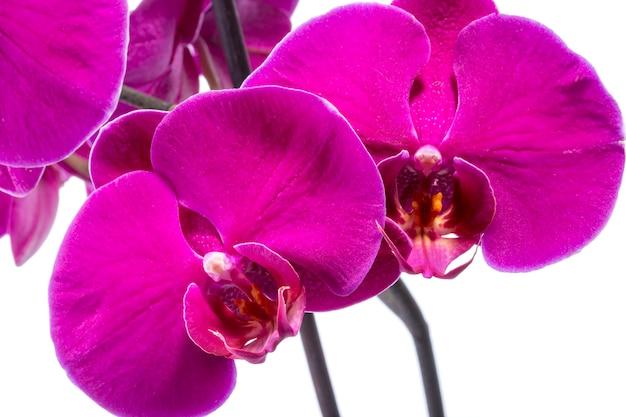 白い背景の上の蘭胡蝶蘭の花のクローズアップ