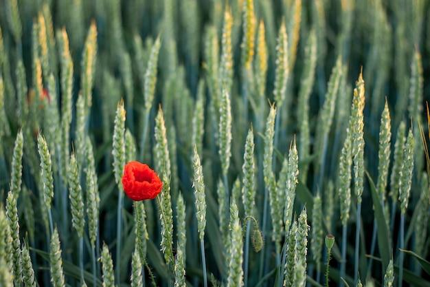 小麦の穂の中でケシの花。小麦の穂の質感。フィールドの夏の時間