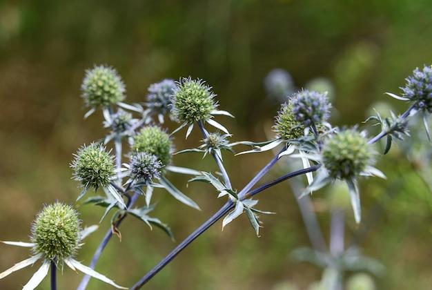 青いアザミの花アザミsteryngoeryngium amethystinum