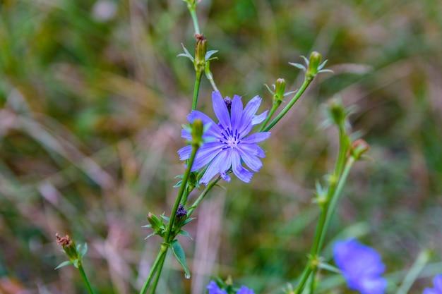 夏に牧草地に咲くチコリ植物の花