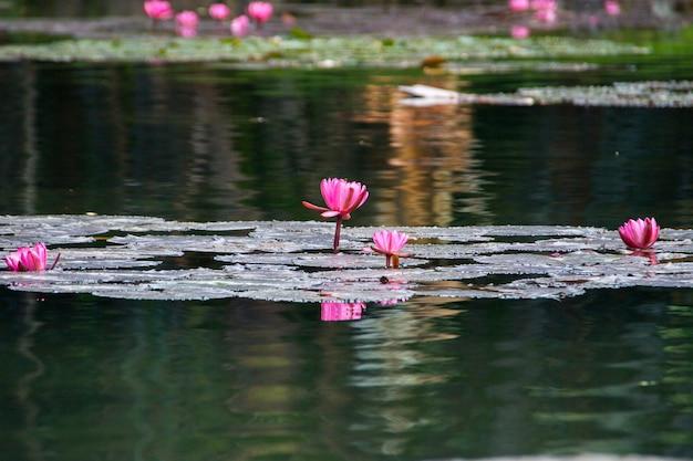 브라질 리우데자네이루 호수에 있는 빅토리아 레지아 식물의 꽃.