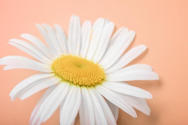 花の野生のデイジークローズアップカモミールポストカード