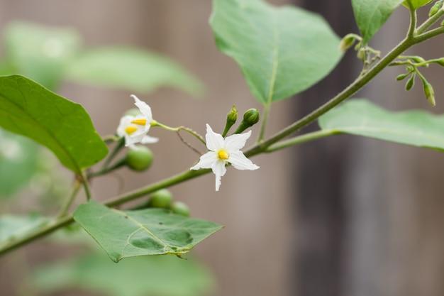 Цветок индейки ягоды, баклажан