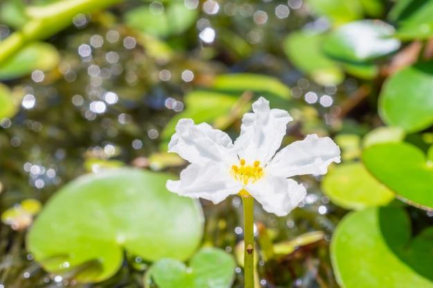 花の水スノーフレーク、バナナ植物ユリと大きなフローティングハート(nymphoides aquatica)一般的な水生植物