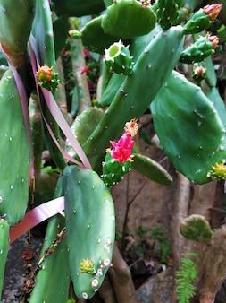 정원에서 선인장에 꽃. 붉은 꽃과 함께 피는 선인장.