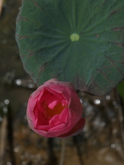 Flower opening in pink
