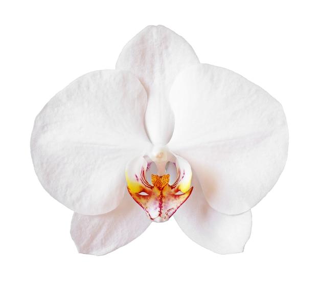 흰색 배경에 고립 된 꽃 난초