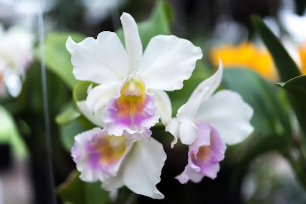Flower (orchidaceae, orchid flower) white purple