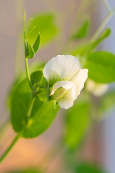 The flower of a pea plant. small white flowers on a branch
