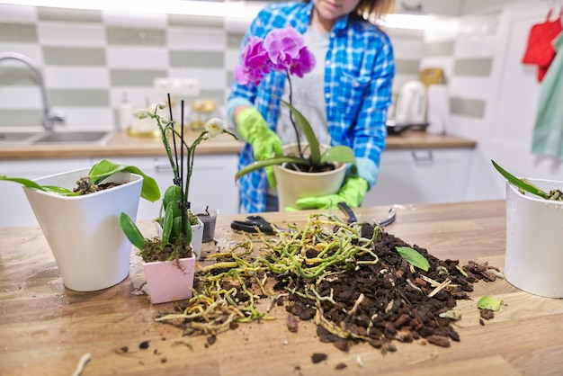 鉢植えの花ファレノプシス蘭、移植植物を気遣う女性、背景のキッチンインテリア