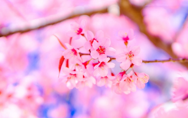 Flower pink beautiful and  wild himalayan  cherry blossom or sakura