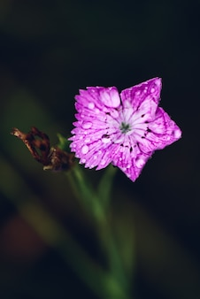 Flower of pink dianthus with rdrops after rain