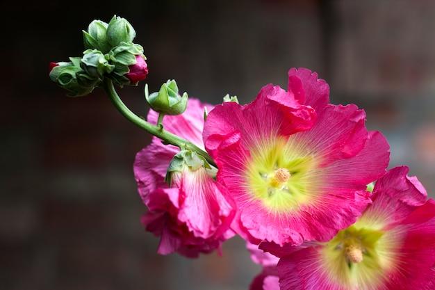 Flower of pink mallow closeup