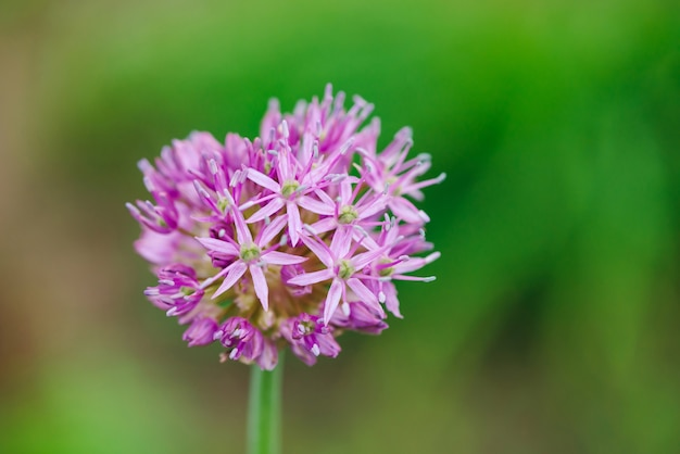 Flower of pink onion blooming on blurred nature