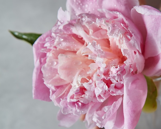The flower of pink peony in blossom with water droplets and green leaf on a gray stone background, place for text.