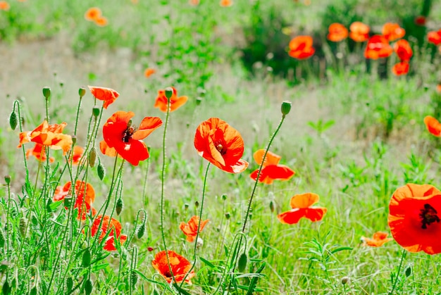 Flower poppy flowering background