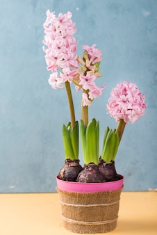 Flower pot of hyacinth