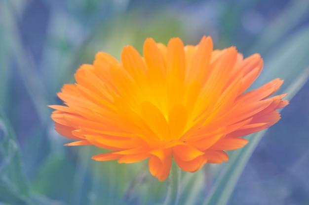Flower pot marigolds calendula on the light blue background