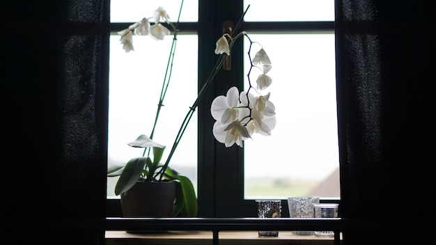 大きな窓の近くにある植木鉢。窓辺の白い蘭。黒のカーテン-朝