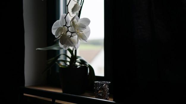 Цветочный горшок у большого окна. белая орхидея на подоконнике. черные шторы - утро