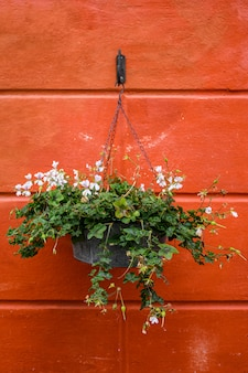 Flower pot with flowers on red wall background