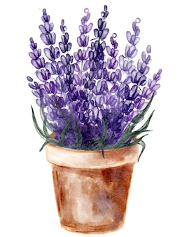 Flower pot with lavender, hand drawn watercolor painting on white background