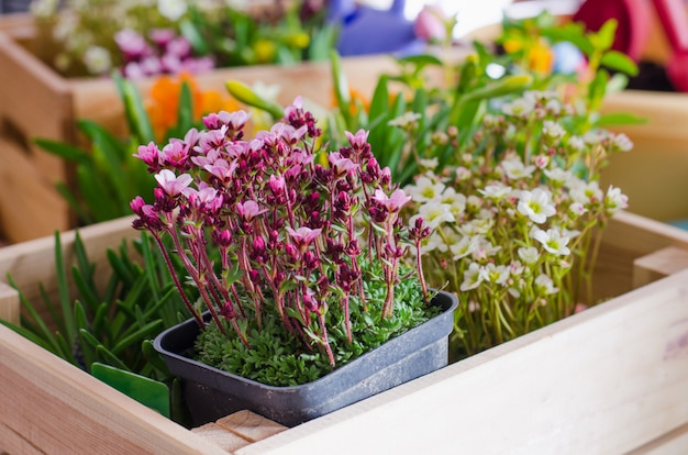 Flower pots for small garden, patio or terrace. seedlings of spring beautiful flowers in a wooden box.