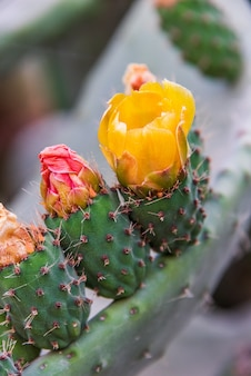 Flower of a prickly pear