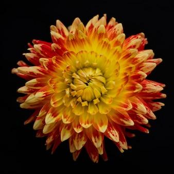 Flower red with yellow chrysanthemum