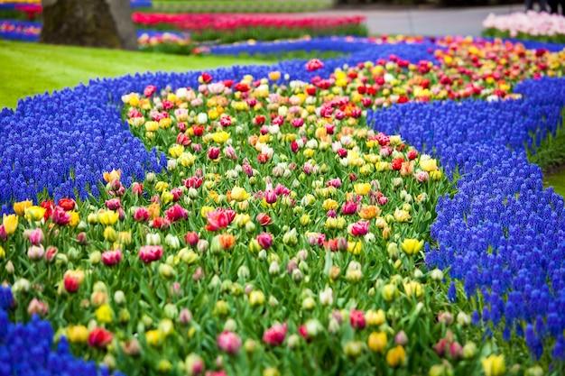 네덜란드 암스테르담 지역의 keukenhof 공원에서 꽃 강. 화려한 꽃 필드