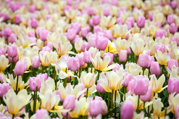 オランダ、アムステルダム地域のキューケンホフ公園の花の川