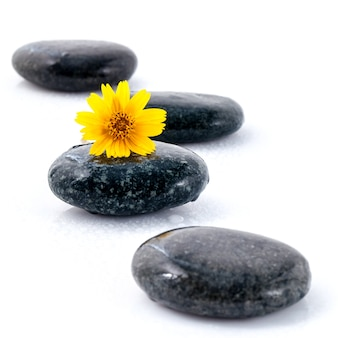 The flower on river stones isolate on white background zen like concepts.